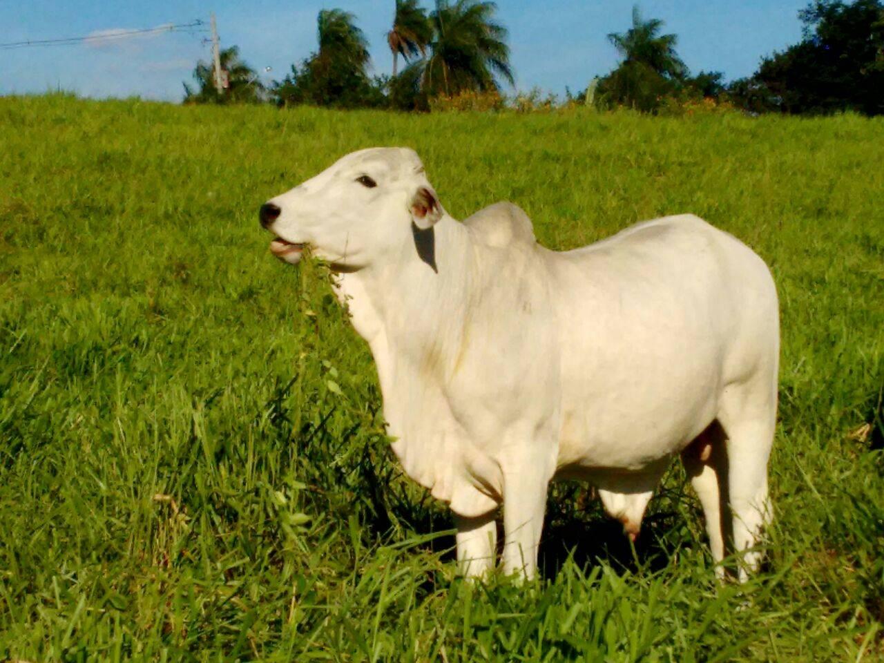 Ganado bovino bajo pastoreo. Brasil. Foto: Bruno Alves.