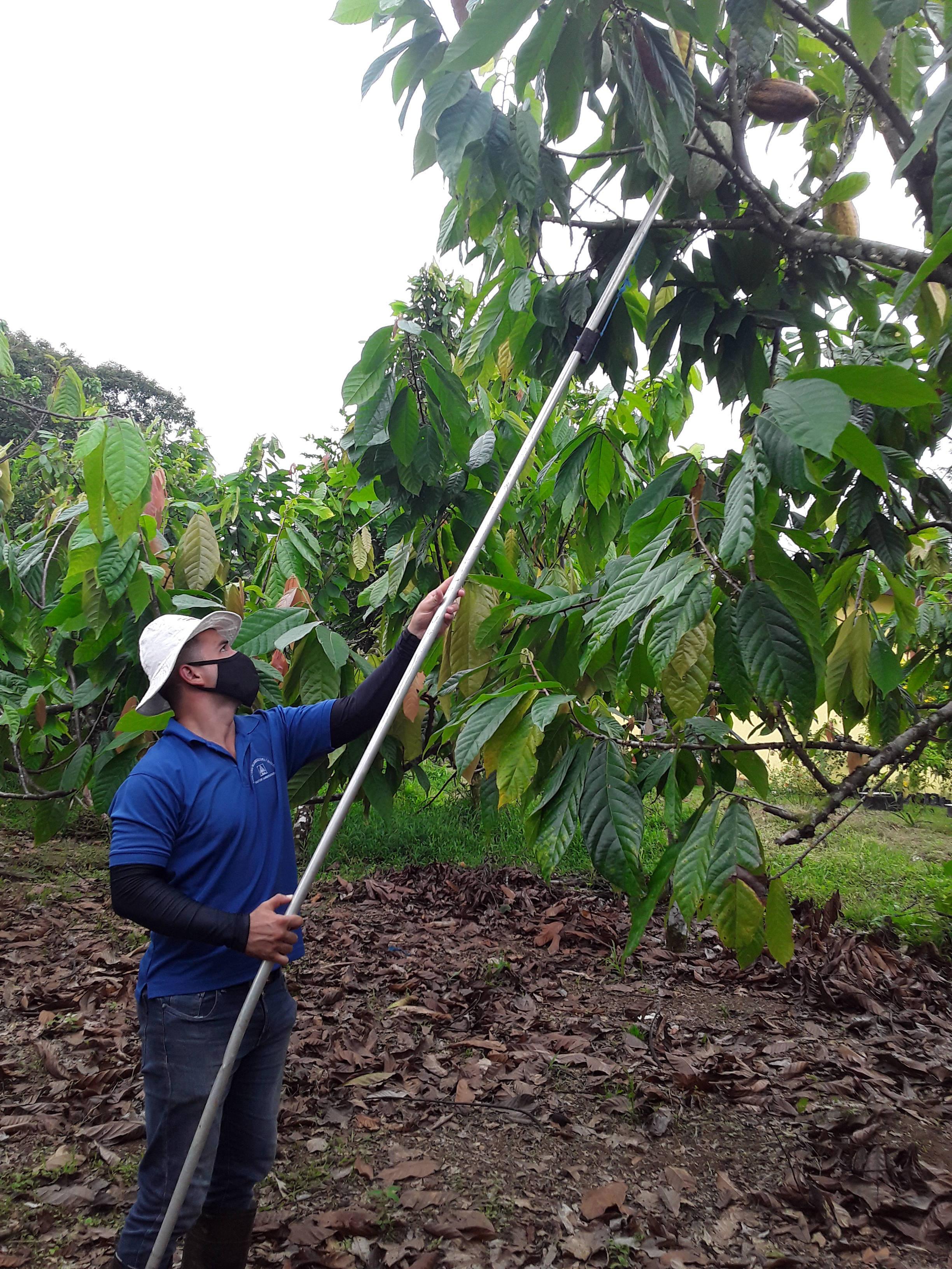 Recolección de mazorcas de cacao.