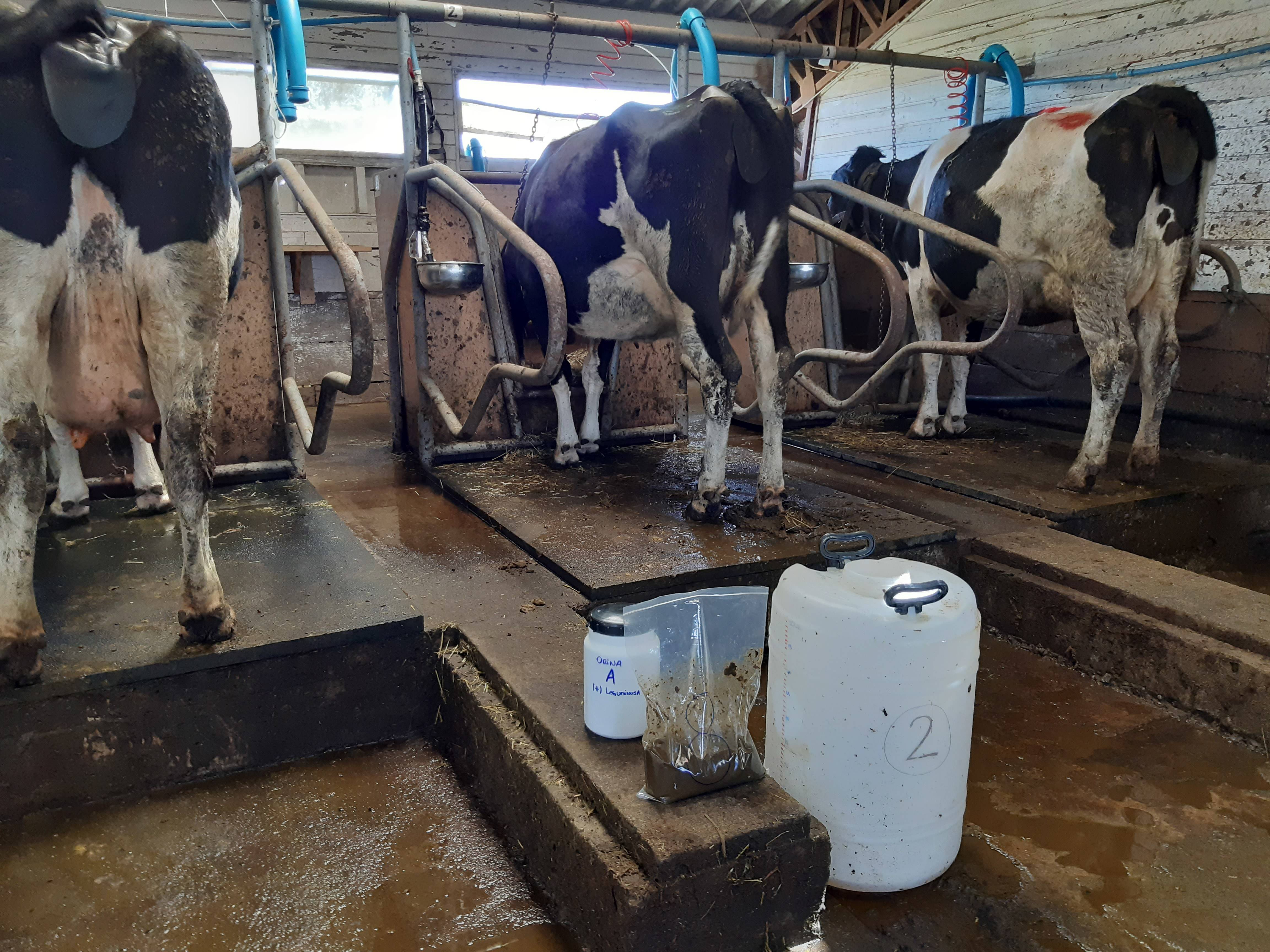 Preparación de ganado bovino ´para estudios de emisiones de metano entérico. INIA-Remahue. Chile