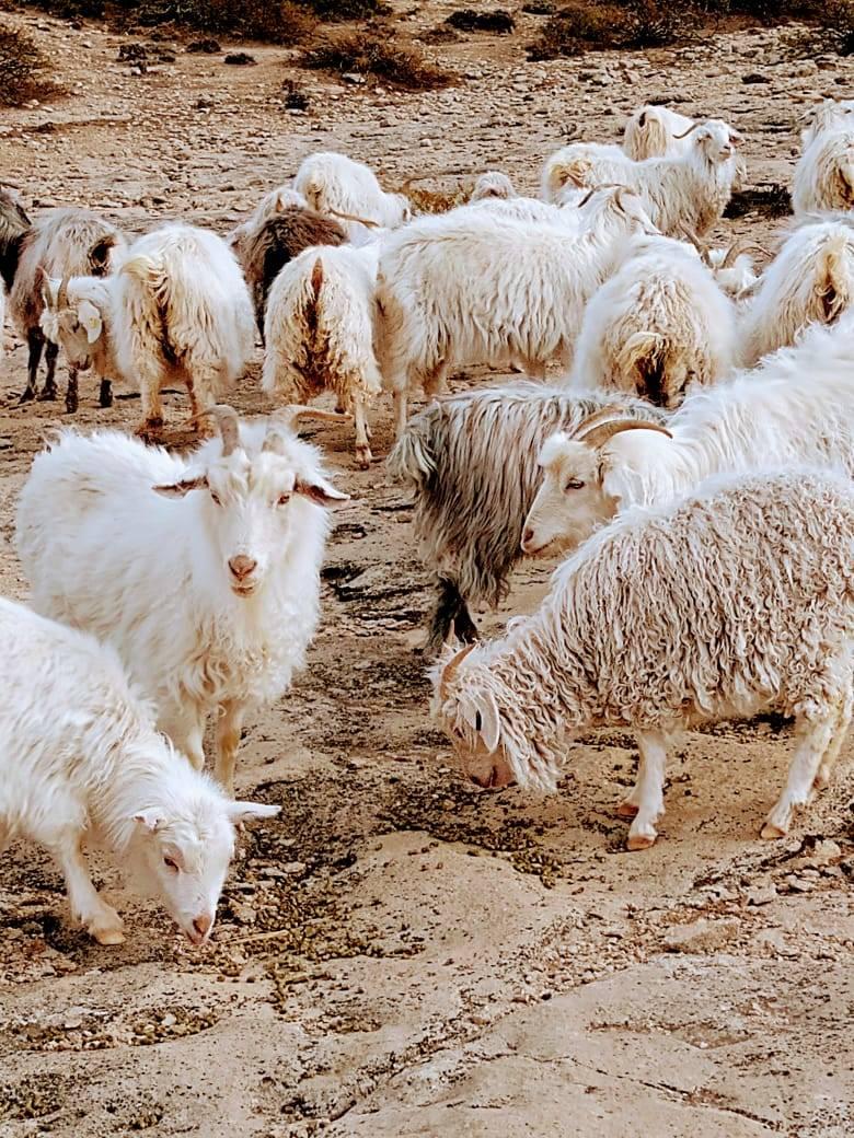 Suplementación estratégica de cabras gestantes