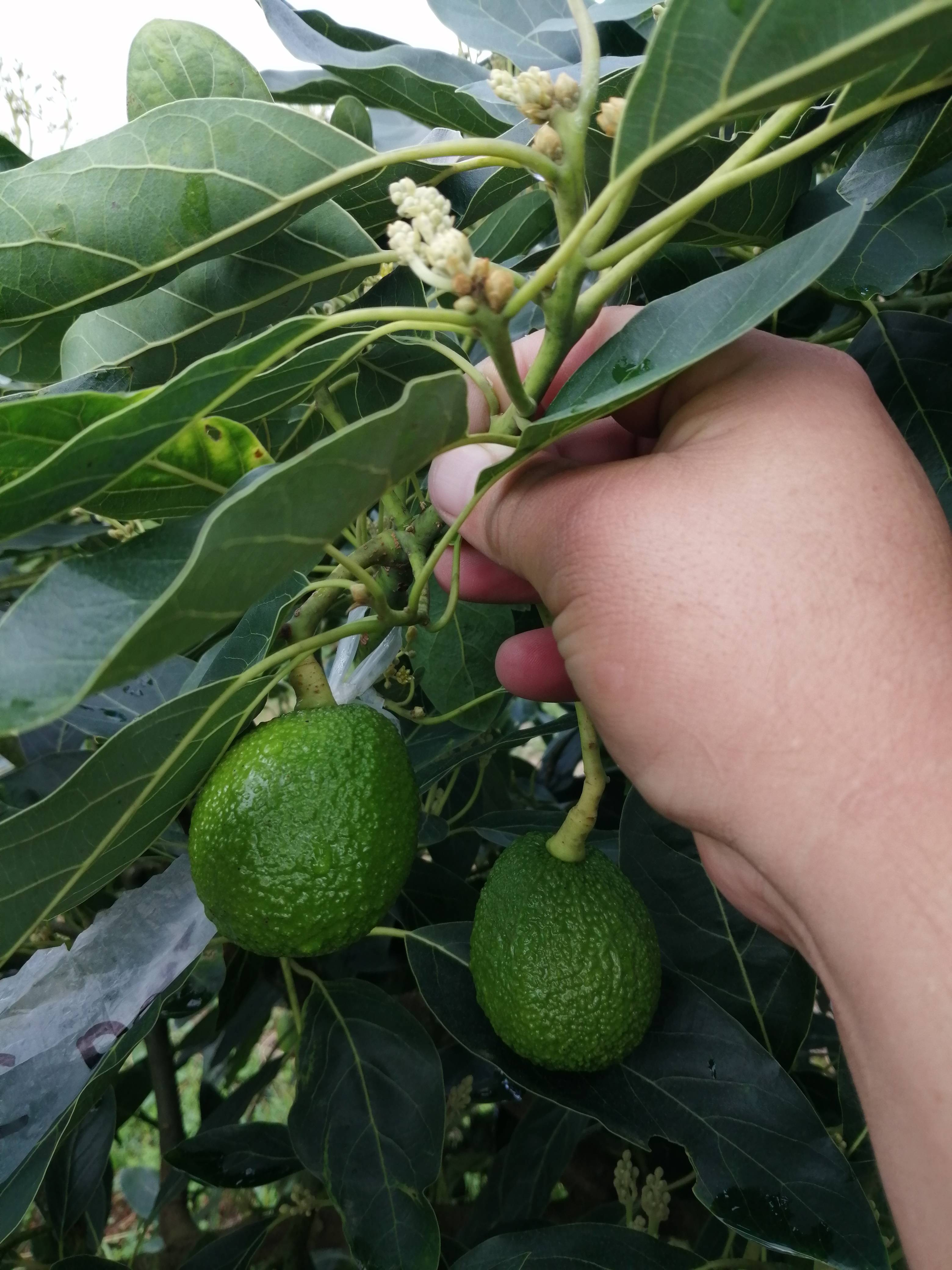 Aguacate Hass 1