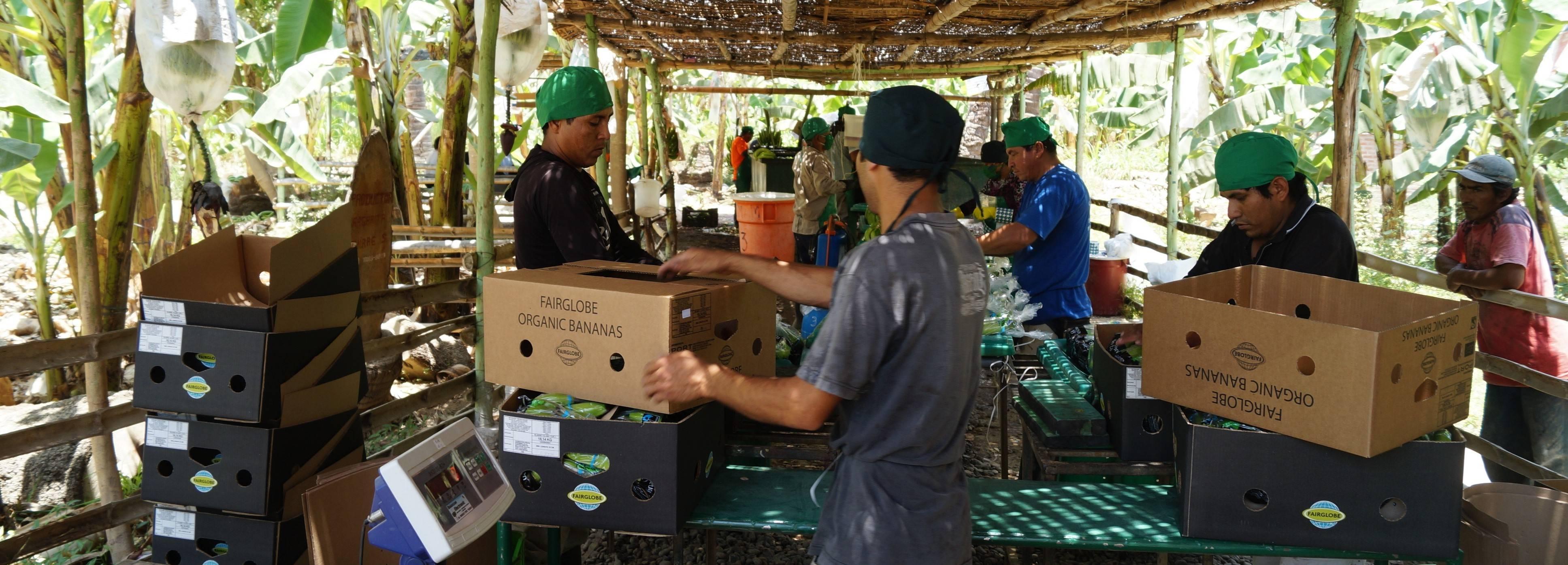 Productores familiares procesando frutas de banano