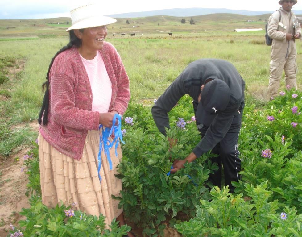 Marcación de selección positiva en papa; realizada en la floración del cultivo con el propósito de mejorar la calidad de la semilla y tener una mejor producción. Se promueve su uso para reutilizar la semilla y fortalecer las capacidades locales.