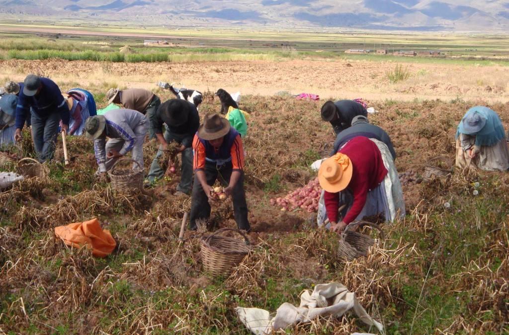 Una vez que el cultivo ha cumplido su ciclo se organiza la cosecha, actividad que involucra la participación de varones, mujeres y niños.