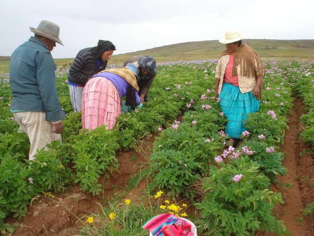 Participación de estudiantes y padres de familia en la práctica de selección positiva en el cultivo de papa nativa