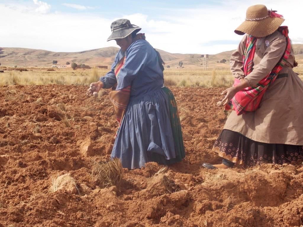 Siembra de variedades de papa nativa por la Junta Escolar, como parte de las actividades agrícolas del fondo rotatorio de semilla de papa