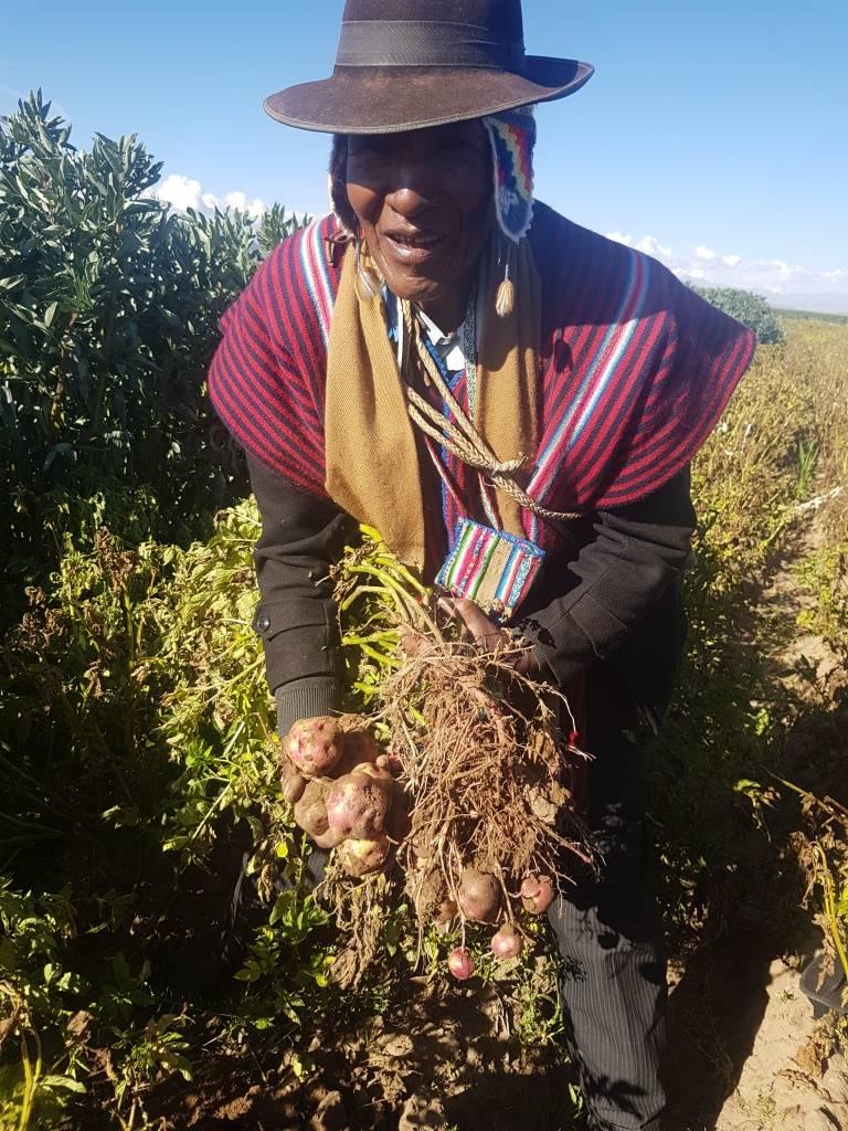 Autoridad originaria (Mallku), del Municipio de Tiahuanacu, en la cosecha de papa nativa, Alternativa Tecnológica Agropecuaria (ATA), disponible en la Plataforma Virtual de Diseminación (PVD)