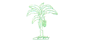 Asociación Comité de productores de plátano y banano de Tumbes  (ASOCOPLA) - Perú